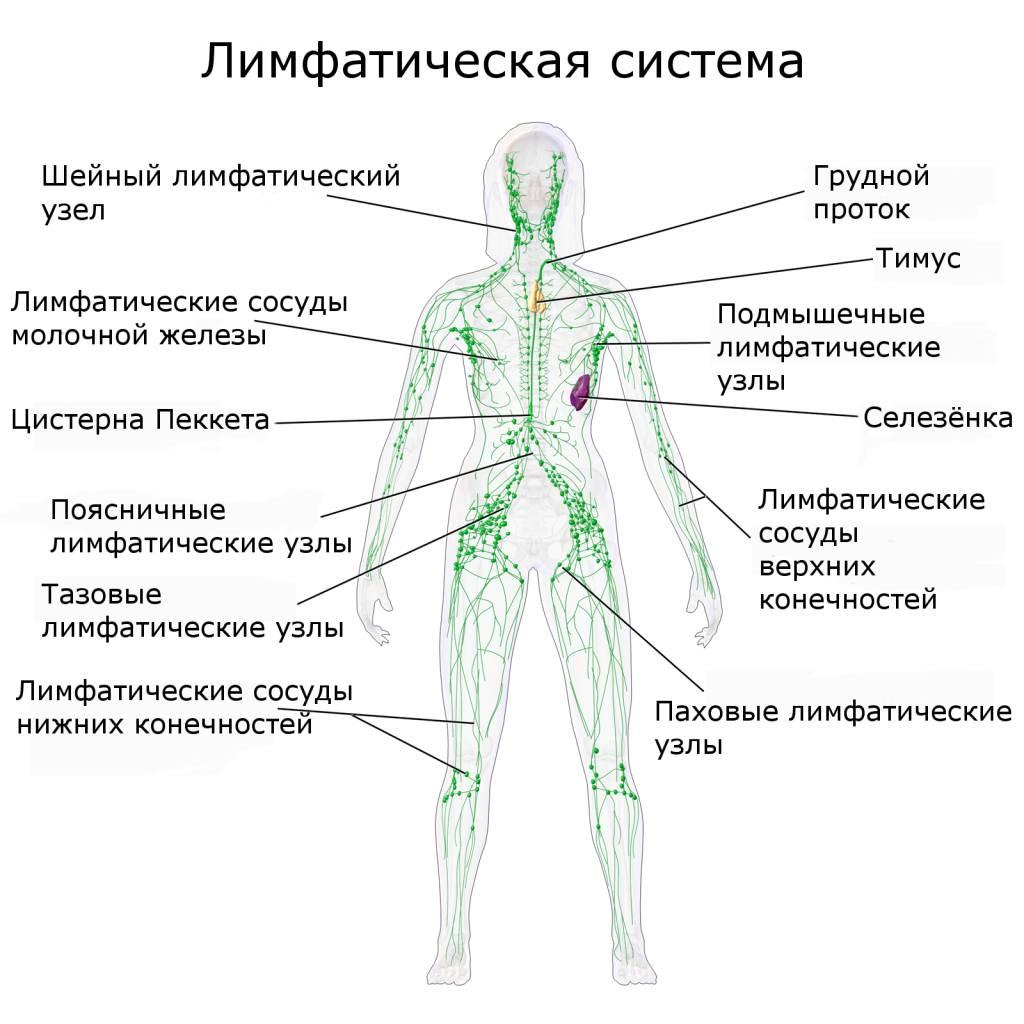 лифатическая система человека